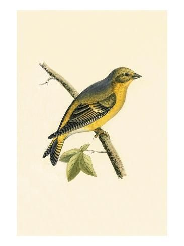 Giclee Print: Citril Finch, from 'A History of the Birds of Europe Not Observed in the British Isles' by English : 24x18in #britishisles