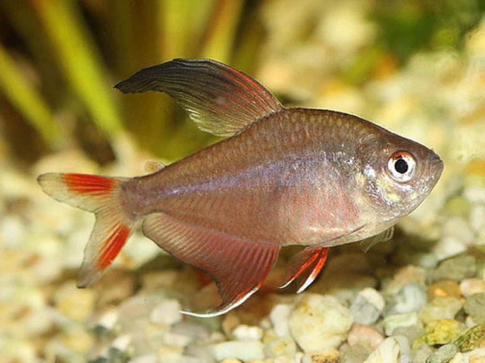 Hyphessobrycon Bentosi In 2020 This Or That Questions Neon Tetra Fish