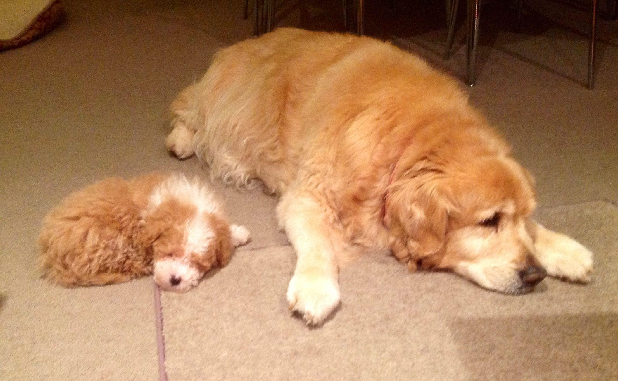 Sleeping Cavoodle And Golden Retriever Animals Golden Retriever Puppies