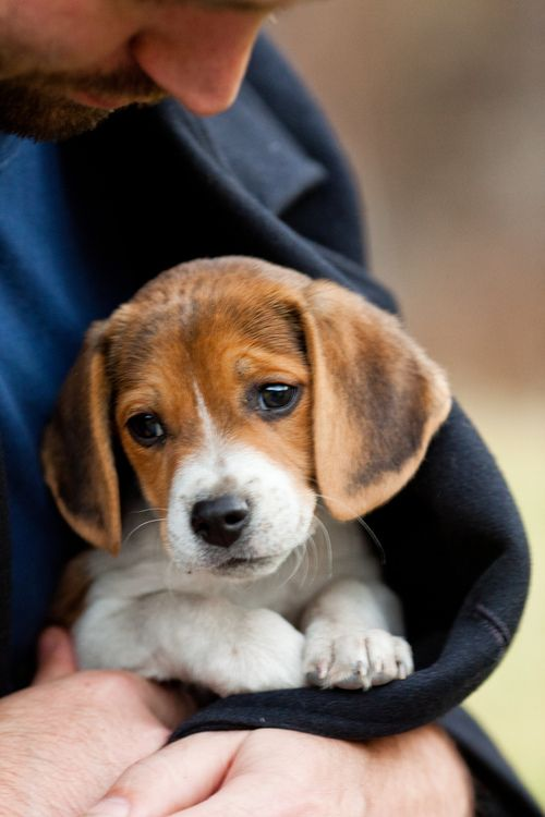 Warm In His Coat By Thomas Hawk Beagle Pups Are So Cute