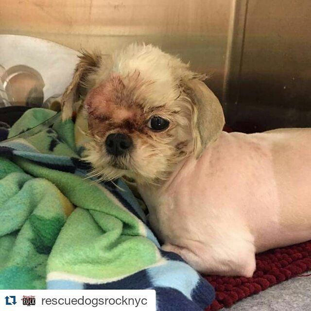#Repost @rescuedogsrocknyc with @repostapp  UPDATE ON REAGAN: Reagan is still recovering from her eye removal surgery on Wednesday. She's doing a bit better today at our vet partner... Reagan is a recent save from the NYC shelter. If you can help with reagans medical care please donate at http://ift.tt/19TDxNH #rescuedogsrocknyc #nyc #adoptdontshop #cute #thepawpack #dog #newyorkcity #puppy #newyork #manhattan #spreadtherumer #puppies #ny #barkbox #adopt #rescue #brooklyn #queens #bronx…