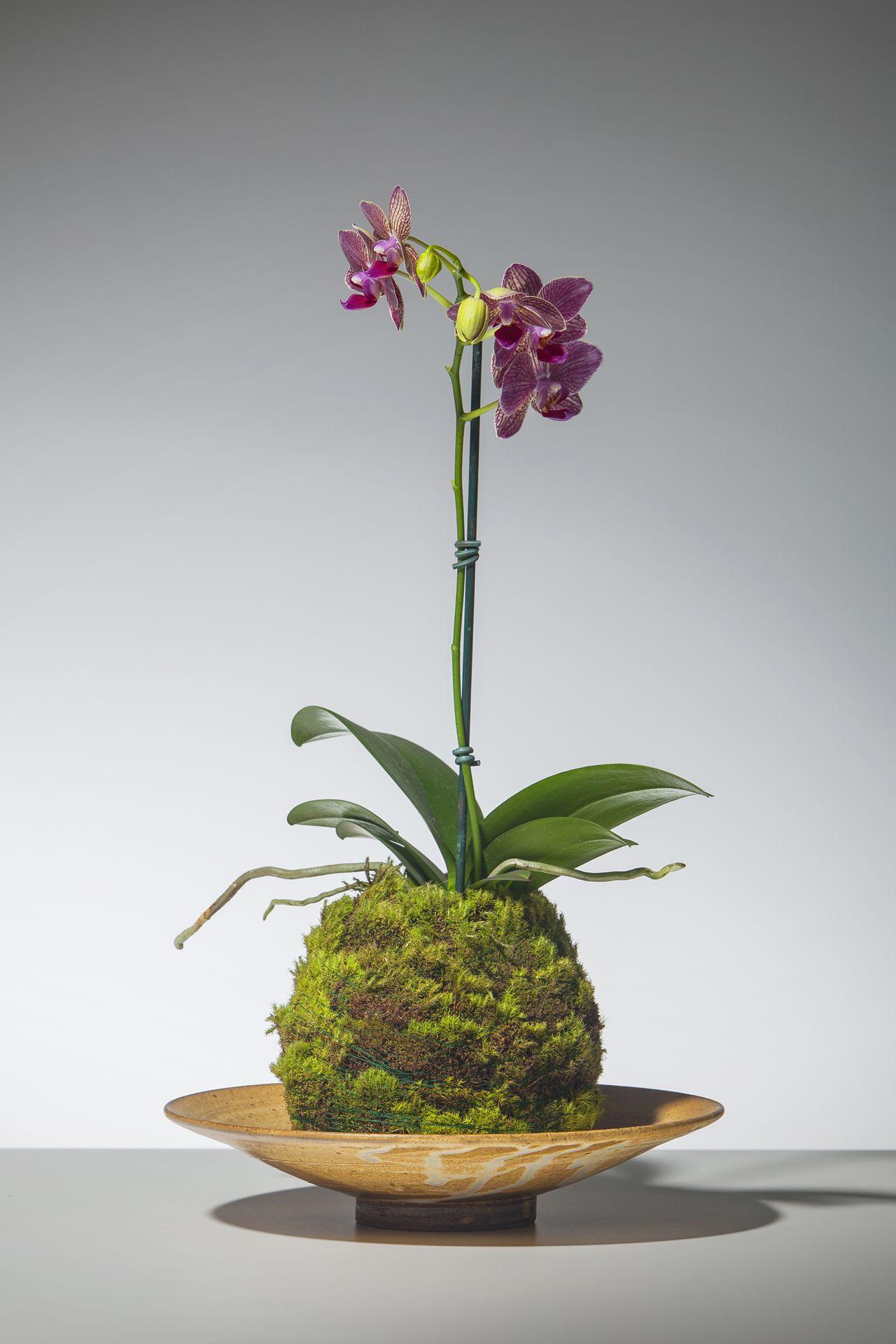 kokedama de orqu dea phalaenopsis kokedama orquidea orchild musgo moss artebotanica. Black Bedroom Furniture Sets. Home Design Ideas