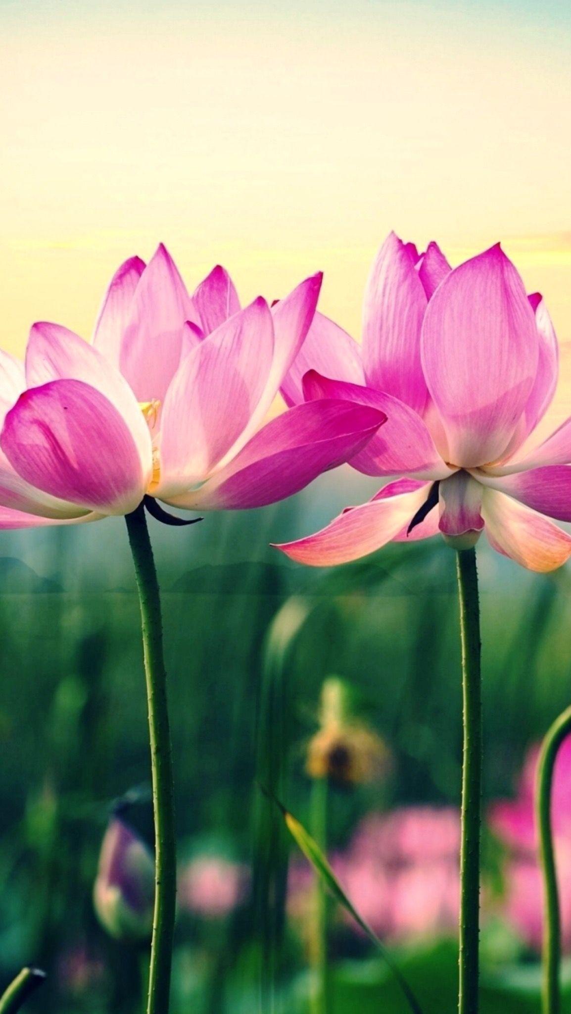 Lotus flower wallpaper, Wallpaper, Flowers
