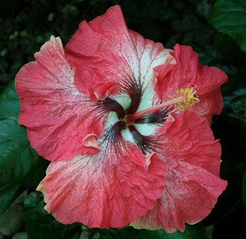 Hibiscus Creole Belle Hibiscus Plant Hibiscus Flowers Hibiscus