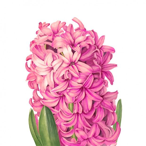 Pink hyacinth by Sally Jacobs. Welcome to my page about hyacinth and other bulbs http://www.facebook.com/flowerindoorgardening #hyacinth #bul