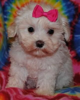 Maltipoo Puppies Maltese Poodle Mix Puppies And Kitties