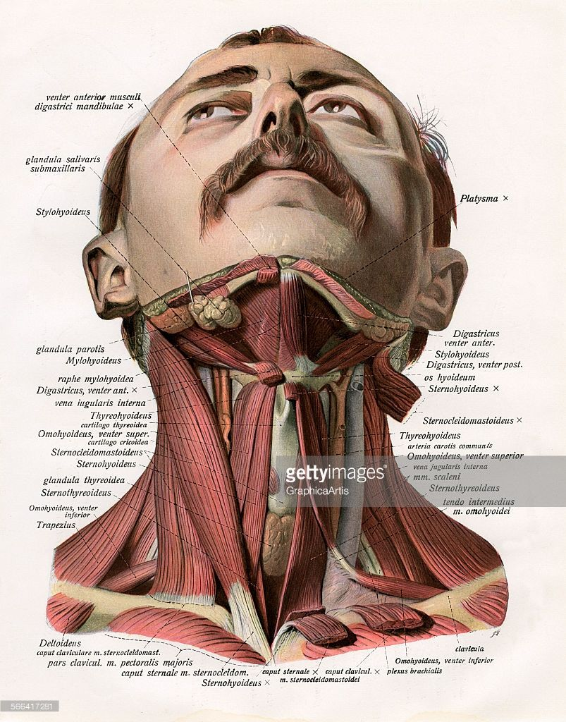 Vintage Anatomical Study Of The Muscles And Glands Of The Human Neck