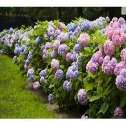 Fast growing flowering hedges fast growing hedges for Fast growing flowering vines for fences