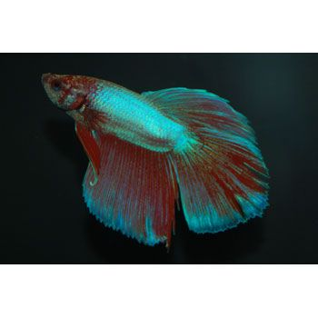 Pick a variety of green betta fish they range in price for Petco betta fish price