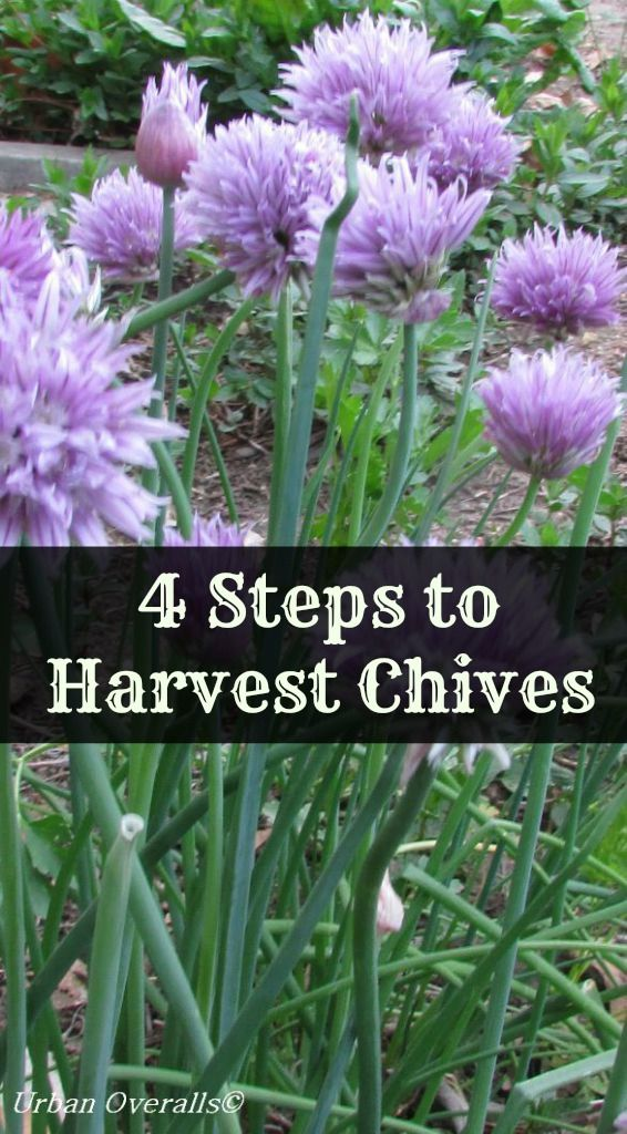 4 Steps To Harvest Chives Chives Plant Growing Vegetables Growing Chives