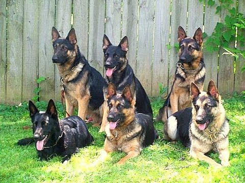 Video Brochure For The Best Family Raised Personal Protection Dogs