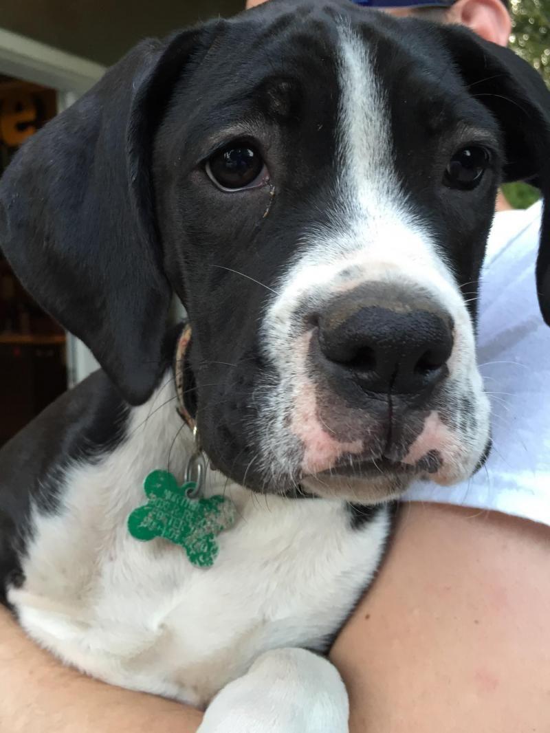 Adopt Luna On Pet Adoption Pets Boxer Dogs