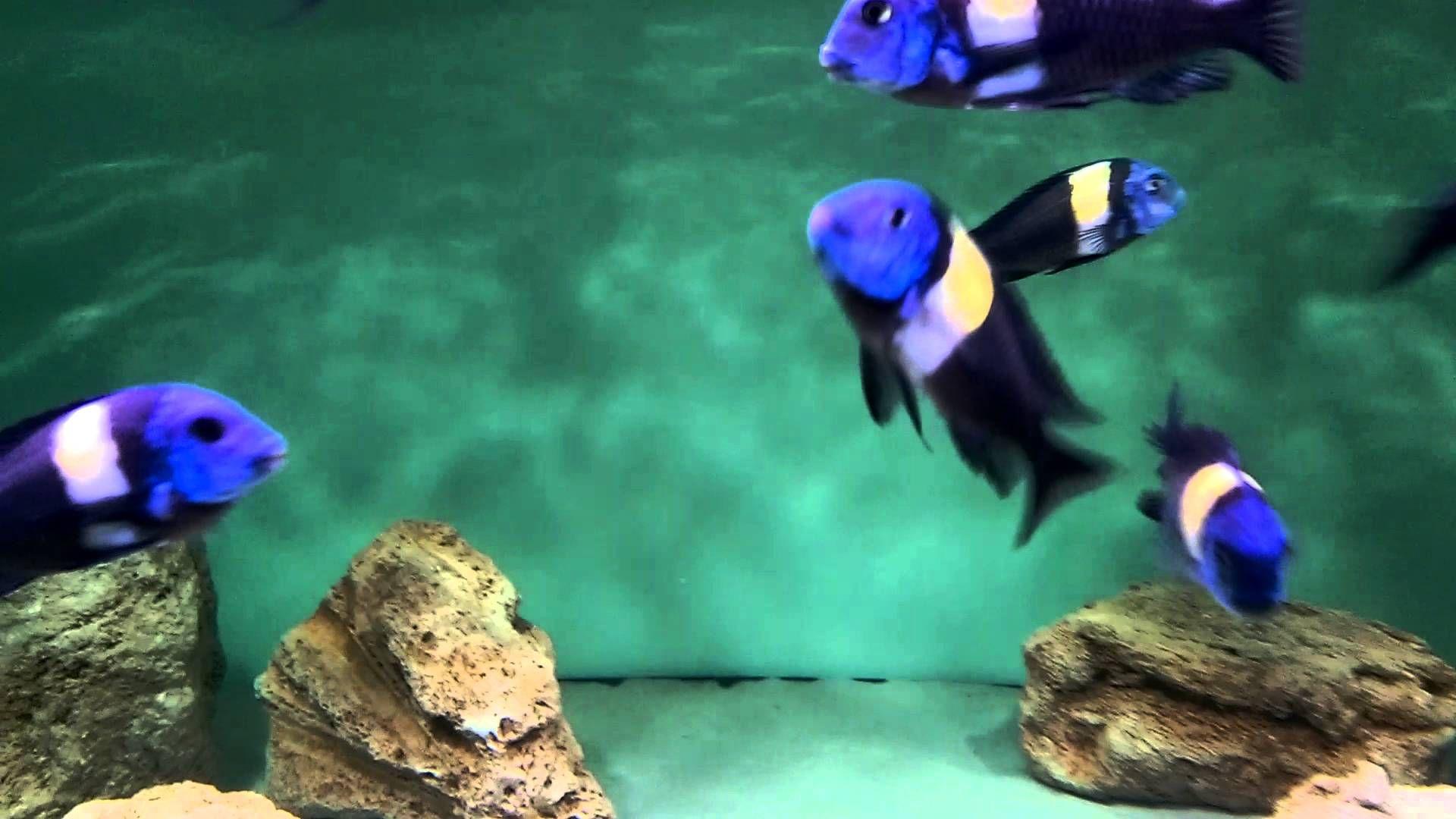 Tropheus duboisi Maswa cichlid fish Pinterest