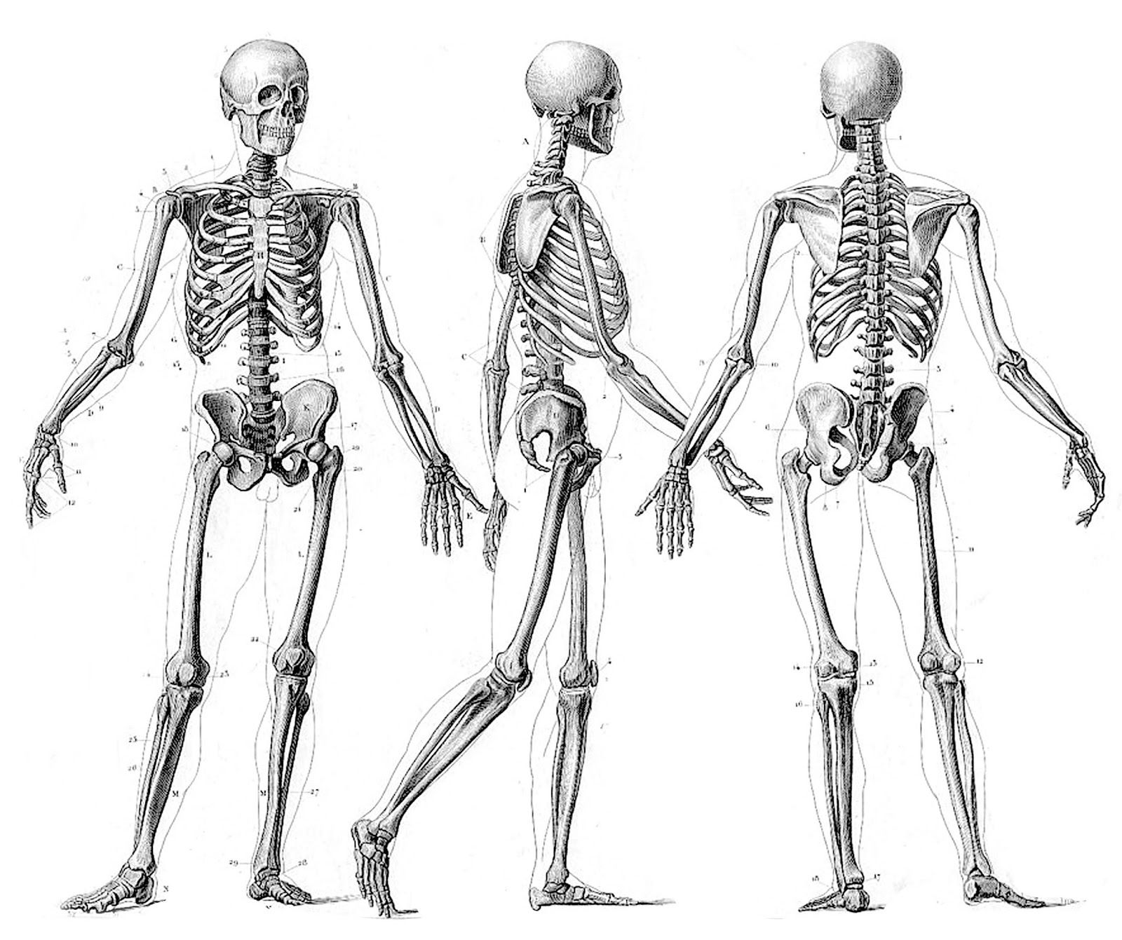 Squelette humain dessin - Dessin du coeur humain ...