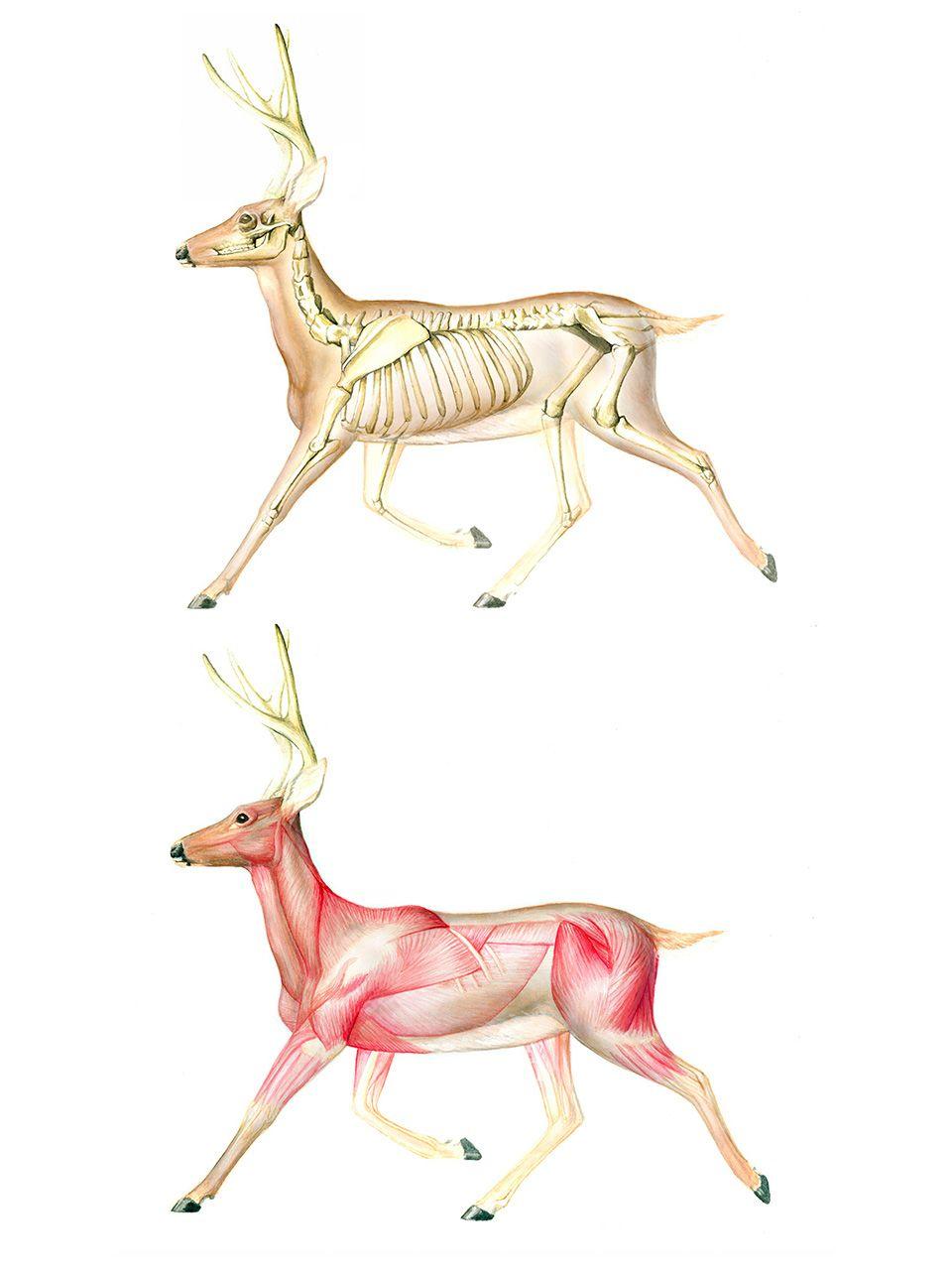 Running deer - skeleton & musculature   Anatomy - animal ...