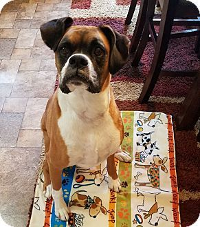 Waterford, MI Boxer. Meet In Foster Dexter, a dog for