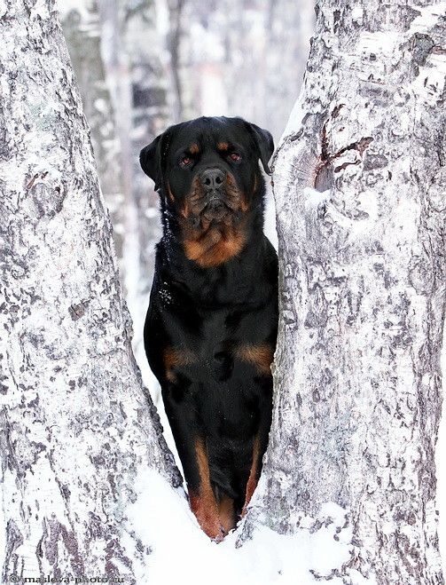 Rottweiler We Have Decided This Will Be Our Next Dog I Love