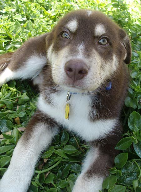 Odin The Husky Aussie Mix Cute Dogs Husky Mix Cute Animals