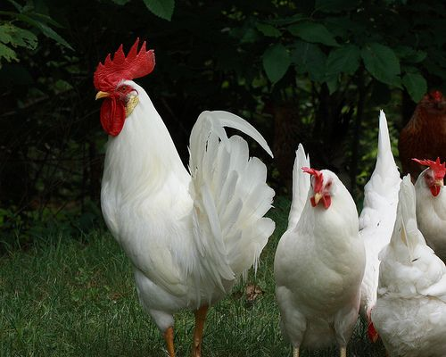 Pearl-White Leghorn. These pullets weigh about 4 lbs. at ...