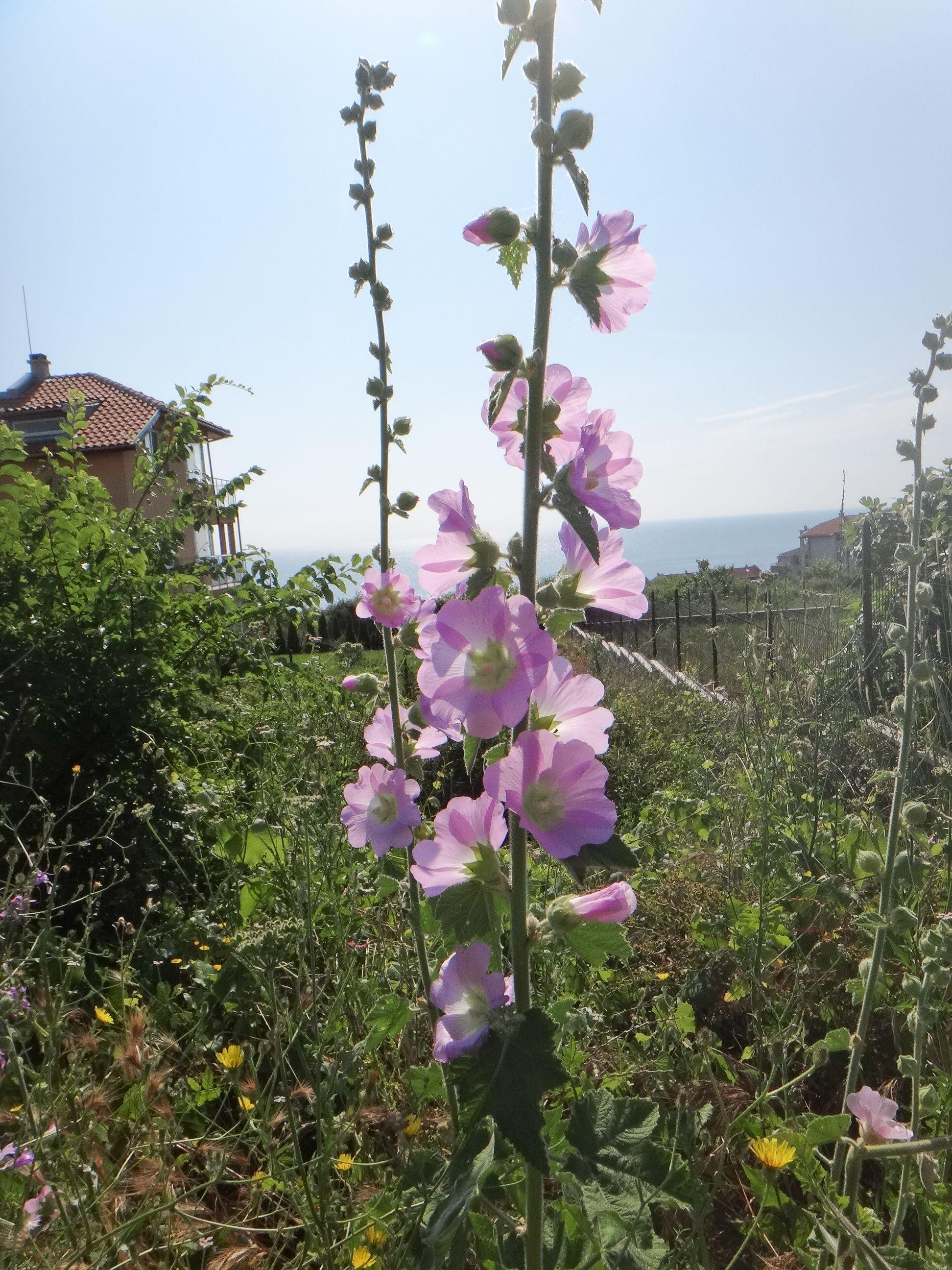 Alcea pallida or Turkish Wild Hollyhock Shade plants