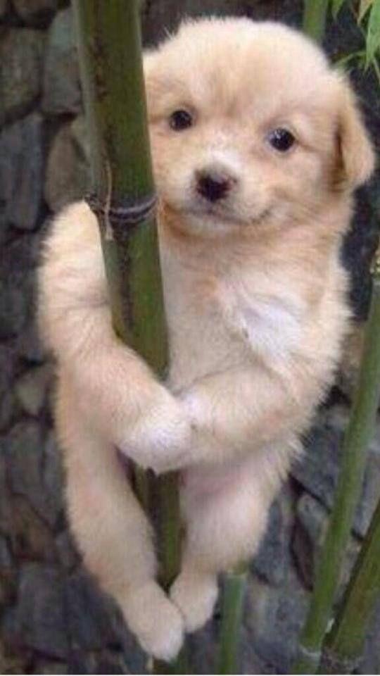 Download Koala Bear Chubby Adorable Dog - 0d818a7fe1478553d96e911893723bfc  Gallery_4379  .jpg