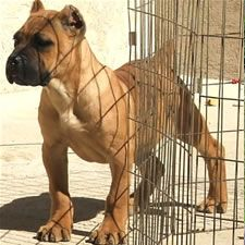 Avalanche Cane Corso Italiano    i've never heard of this kind of dog, but they are soo cute...