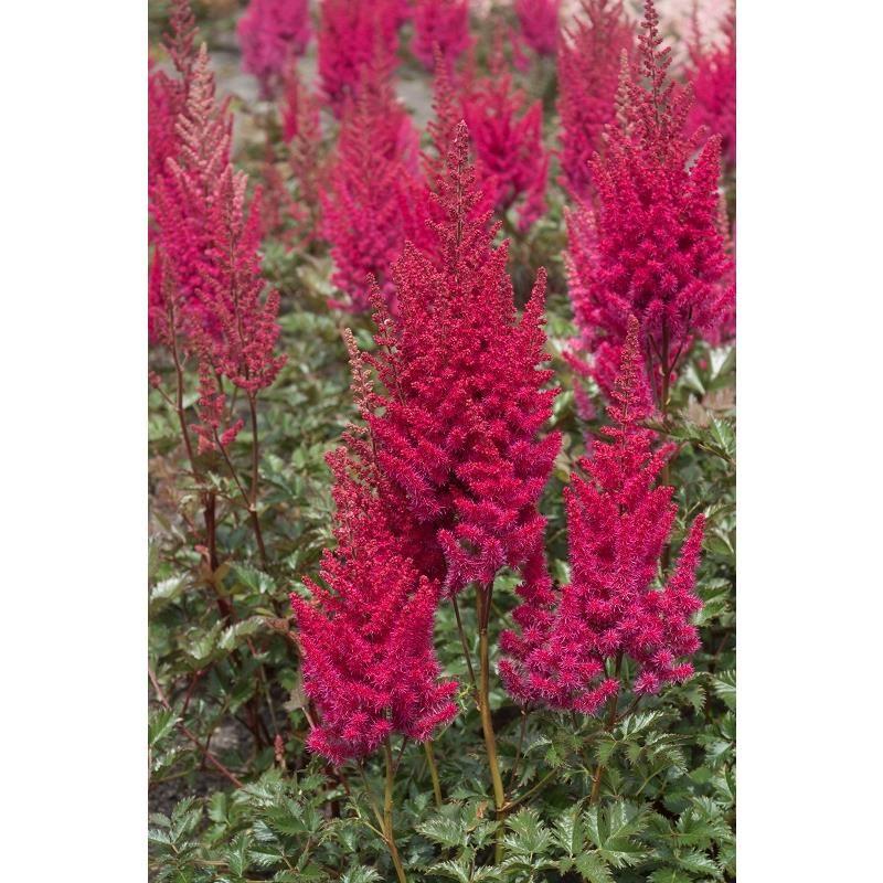 Lowlands Ruby Red Astilbe Shade Loving Perennials Astilbe Perennials