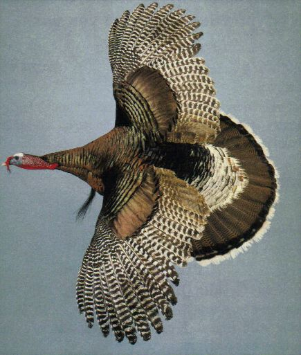 turkey in flight mount