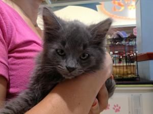 Grayce Is An Adoptable Russian Blue Cat In Batonrouge