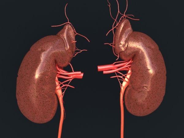 Human Kidney Human Kidney 01 Jpg Lymphatic System