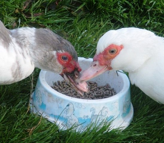 How To Spot A Broody Muscovy Duck