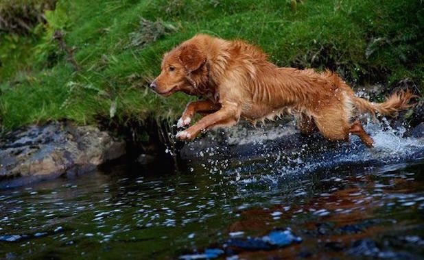 20 Dog Breeds Who D Be Thrilled To Be Your Work Out Bud Nova Scotia Duck Tolling Nova Scotia Duck Tolling Retriever Retriever
