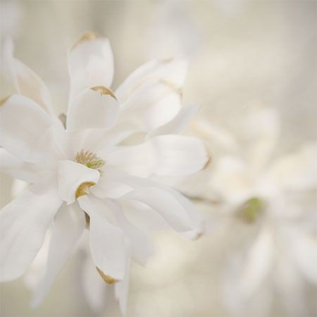 White Magnolia Photograph Sepia Nature Photography by JudyStalus, $17.00