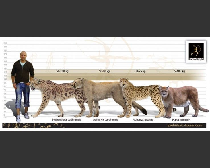 Giant cheetah (Acinonyx pardinensis)   rocks and fossils ...