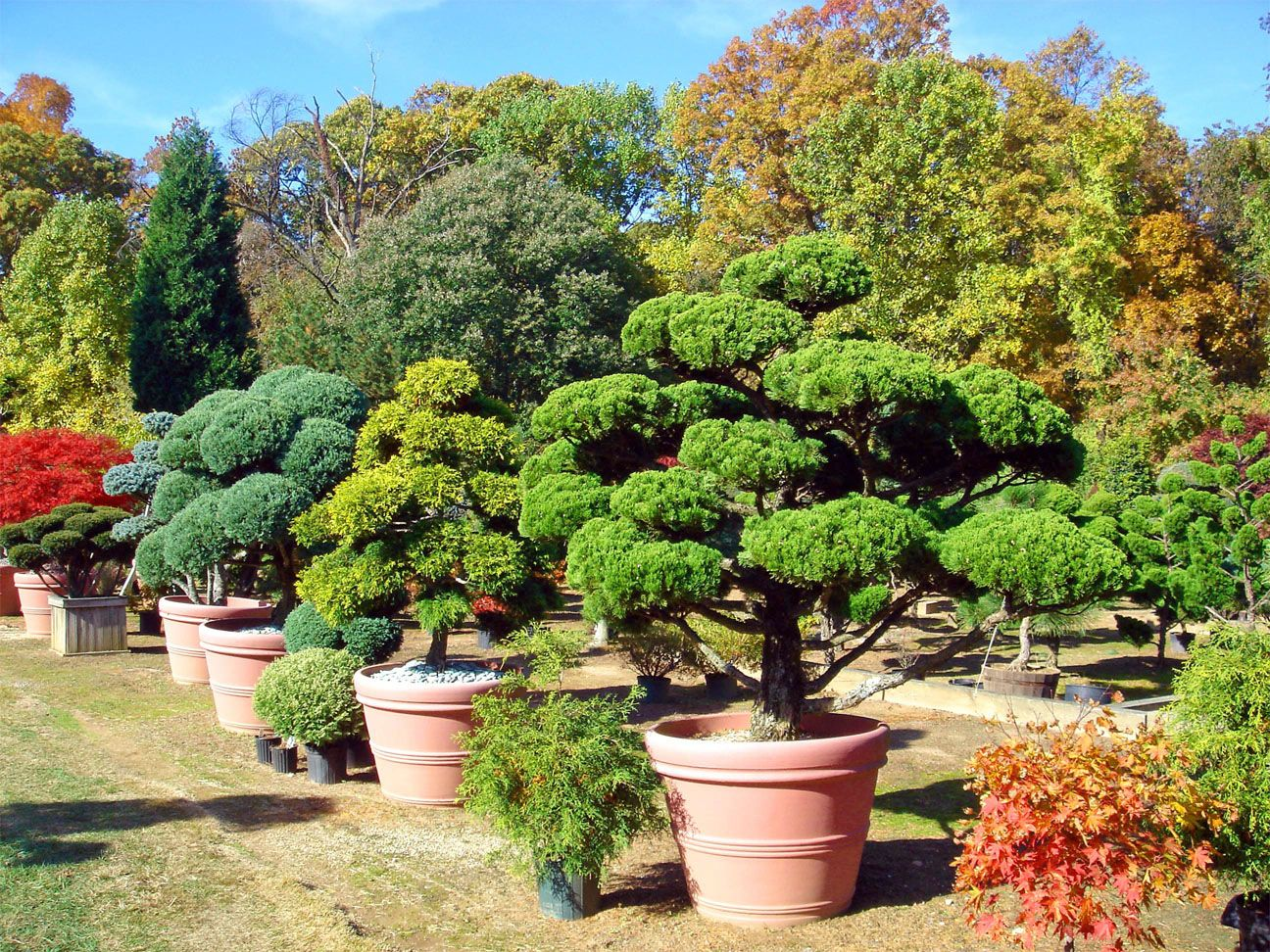 Large potted specimen plants by lee 39 s oriental landscape for Japanese style plants