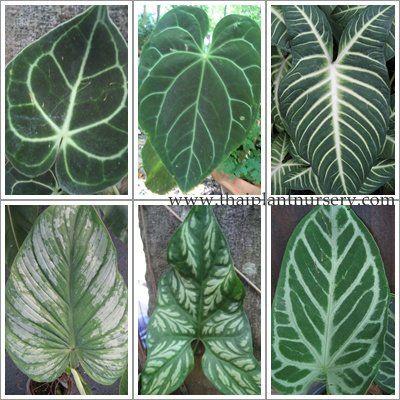 Anthurium Leaves Jardins Secretos Plantas De Folhagem Plantas Suculentas