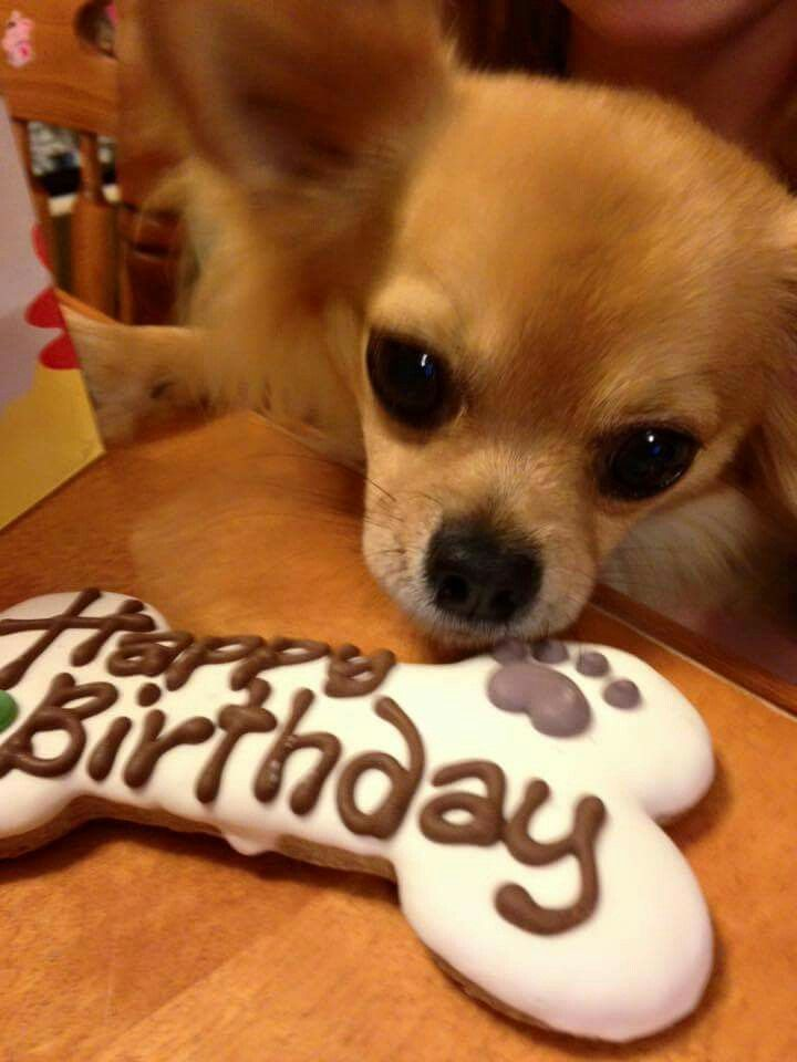 Happy Birthday Angus Chihuahua Funny Cute Puppies Teacup