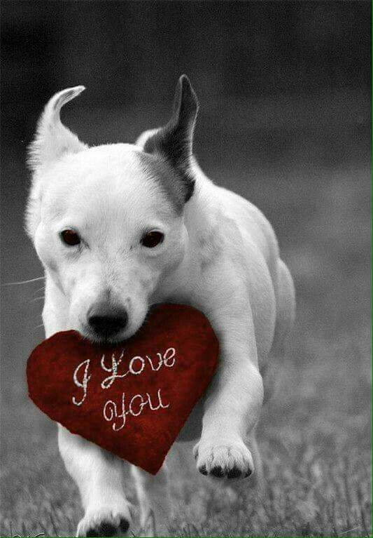 dog holding i love you red heart