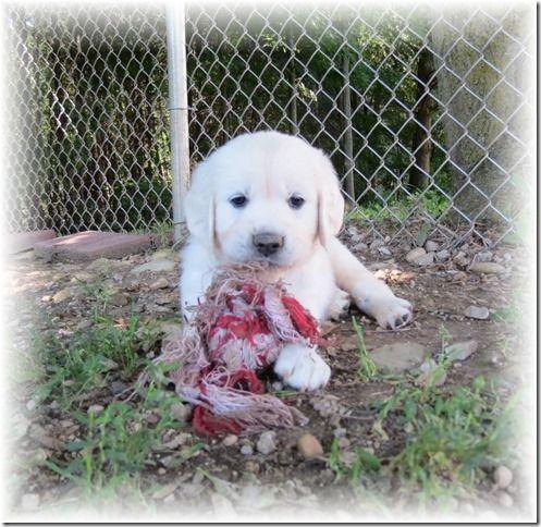 We Raise Beautiful English Cream Golden Retriever Puppies For Sale