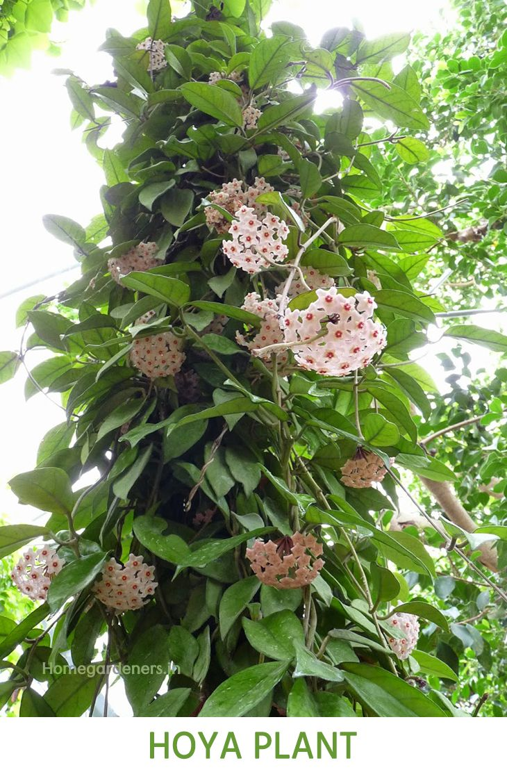 The Complete Guide For Beginners About Hoya Plant Gardening Ideas