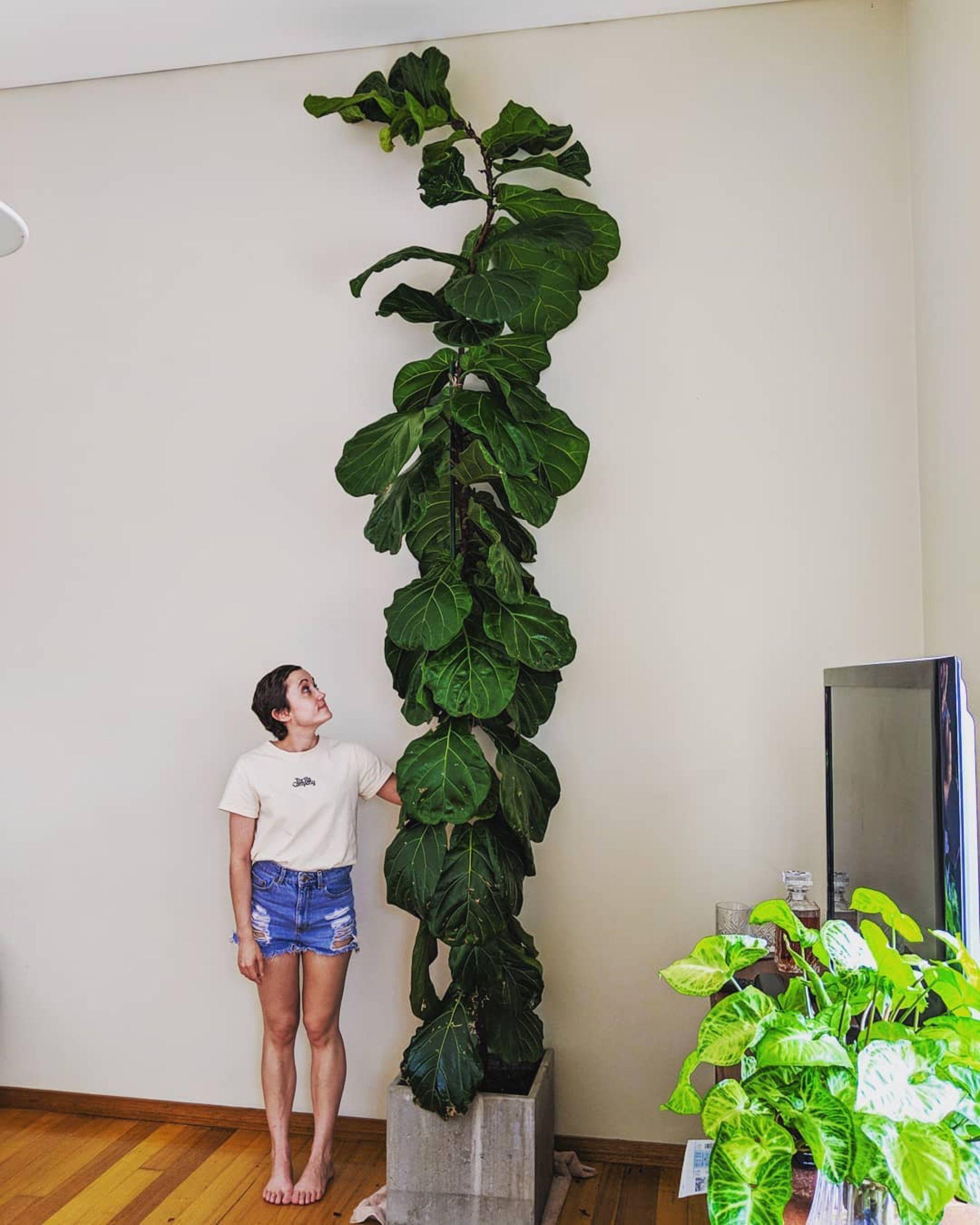 Fiddle Leaf Fig Tree Indoor Tree Plants Tall Indoor Plants Indoor Tropical Plants