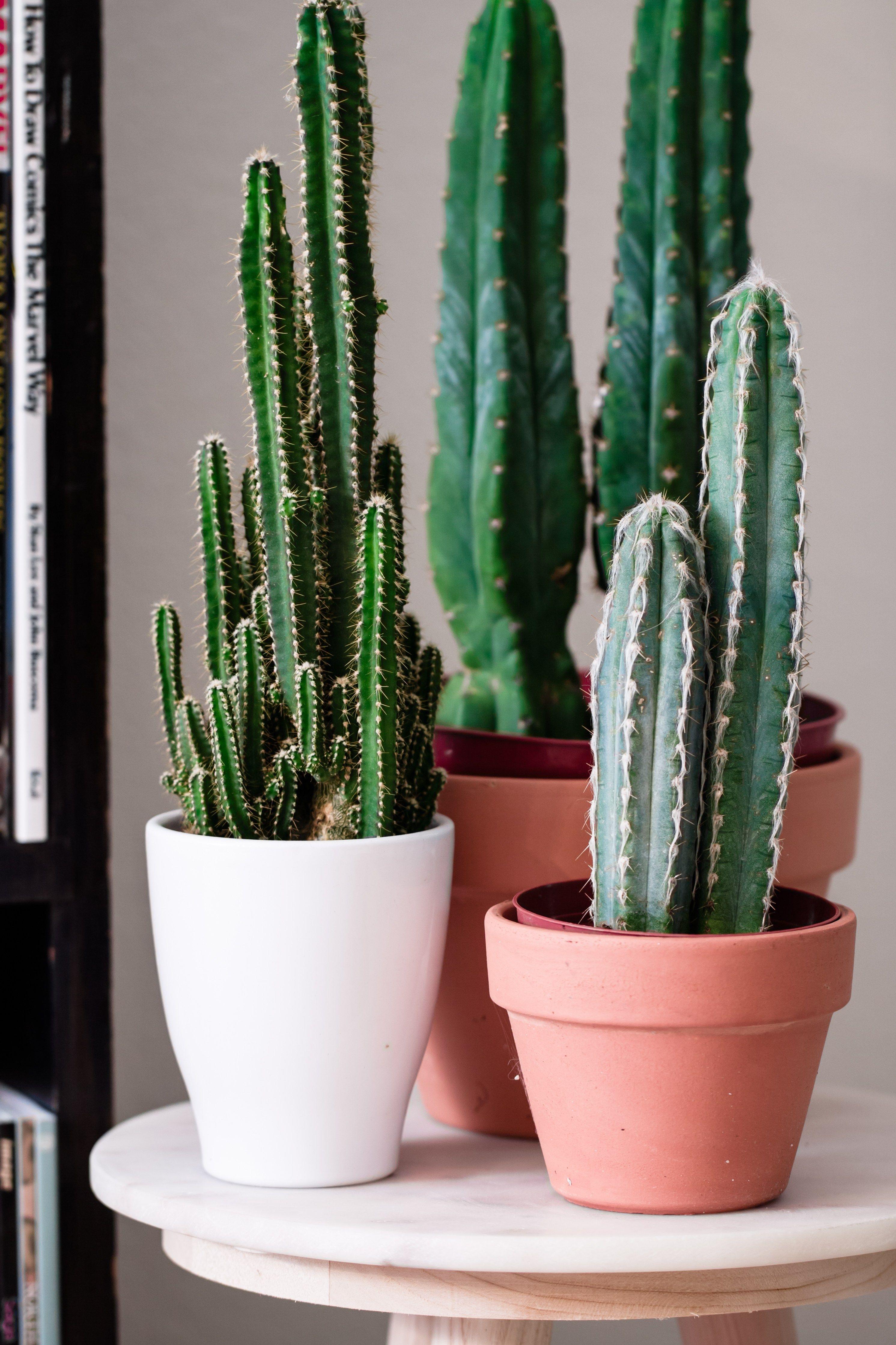 San Pedro Echinopsis pachanoi cacti Plants Pinterest