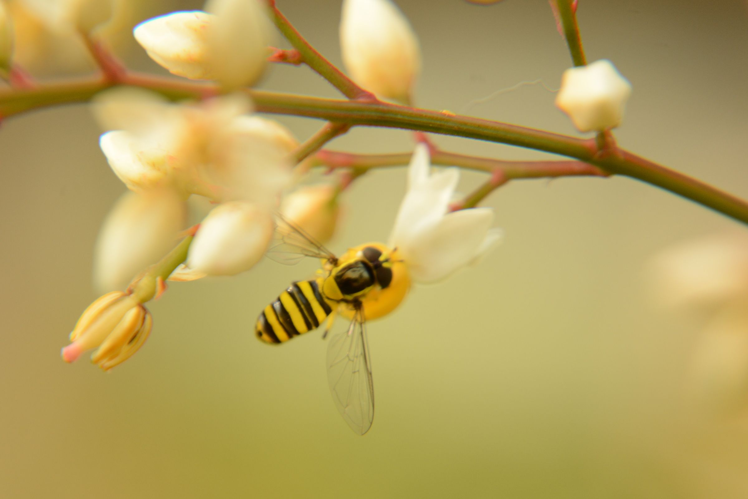 Honeybee 蜜蜂