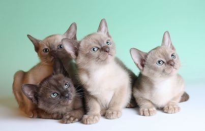 Cats And Kittens For Sale Advertised On Uk Cat Breeders Burmese Kittens Cat Breeds Burmese Cat
