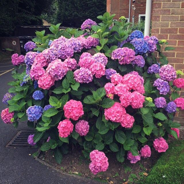 Pin By Heidi Solbakke Tuen On Home Flower Garden Plans Indoor Flowering Plants Beautiful Hydrangeas