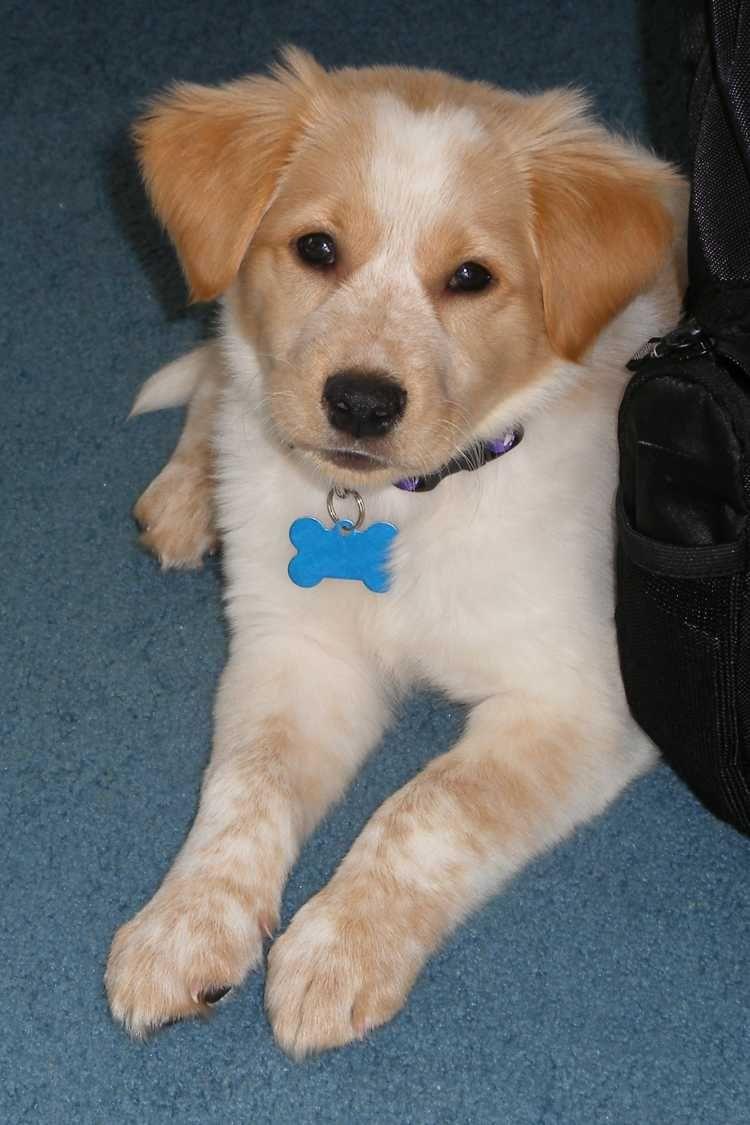 Beagle Golden Retriever Mix animals Pinterest Golden