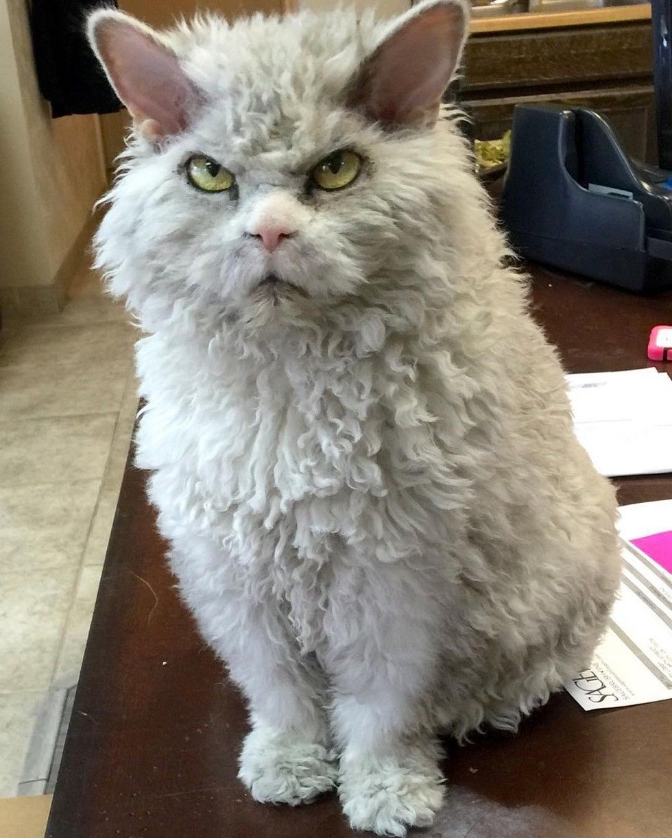 Frowning Kitty Has Ability To Stare And Glare Without Moving Scary Cat Crazy Cats Beautiful Cats