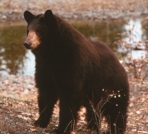 Vermont Outdoor Tip Of The Day: Dont Chase Bears Away