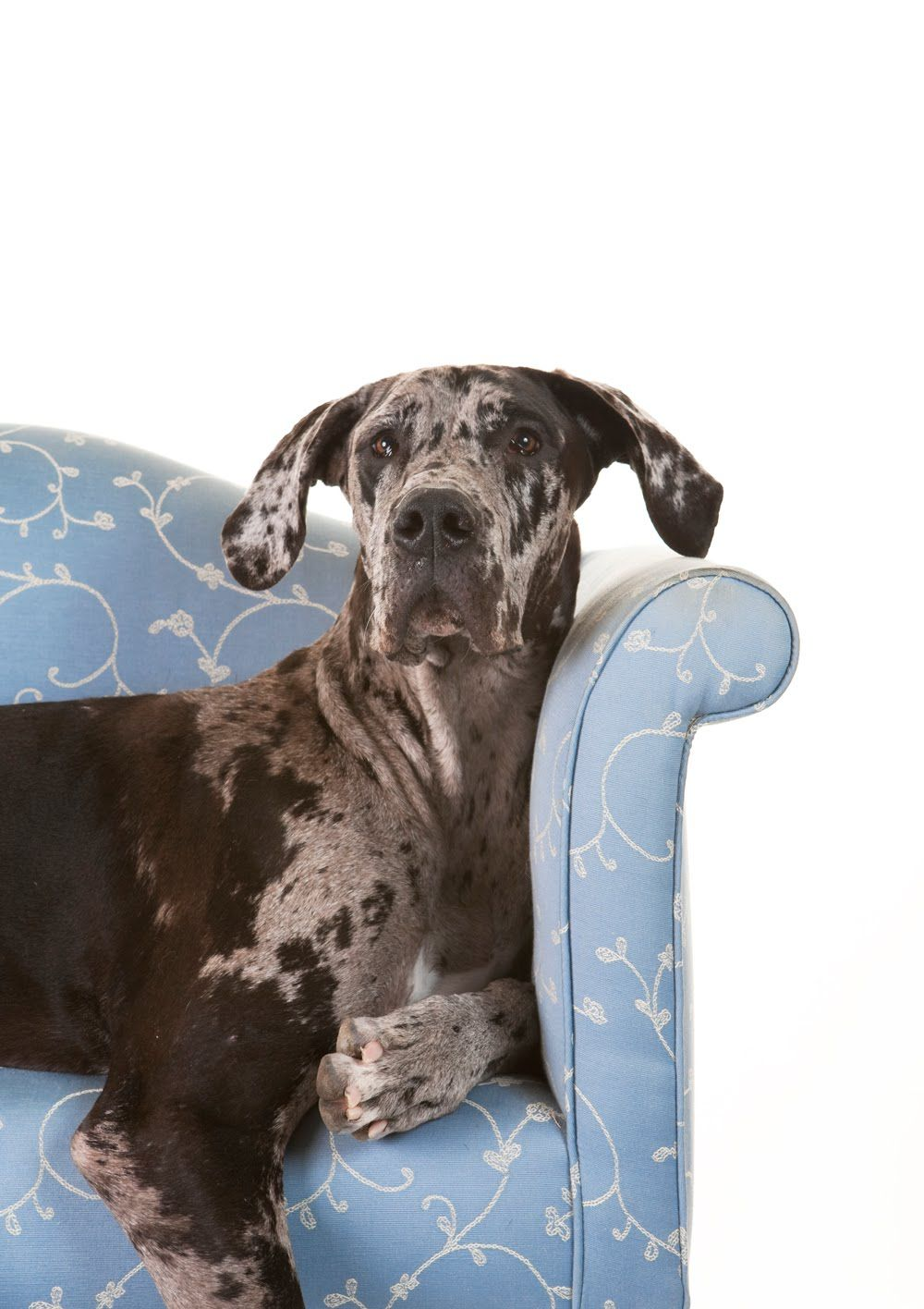 Great Dane Love This Color This Is The Dog Ive Always Wanted