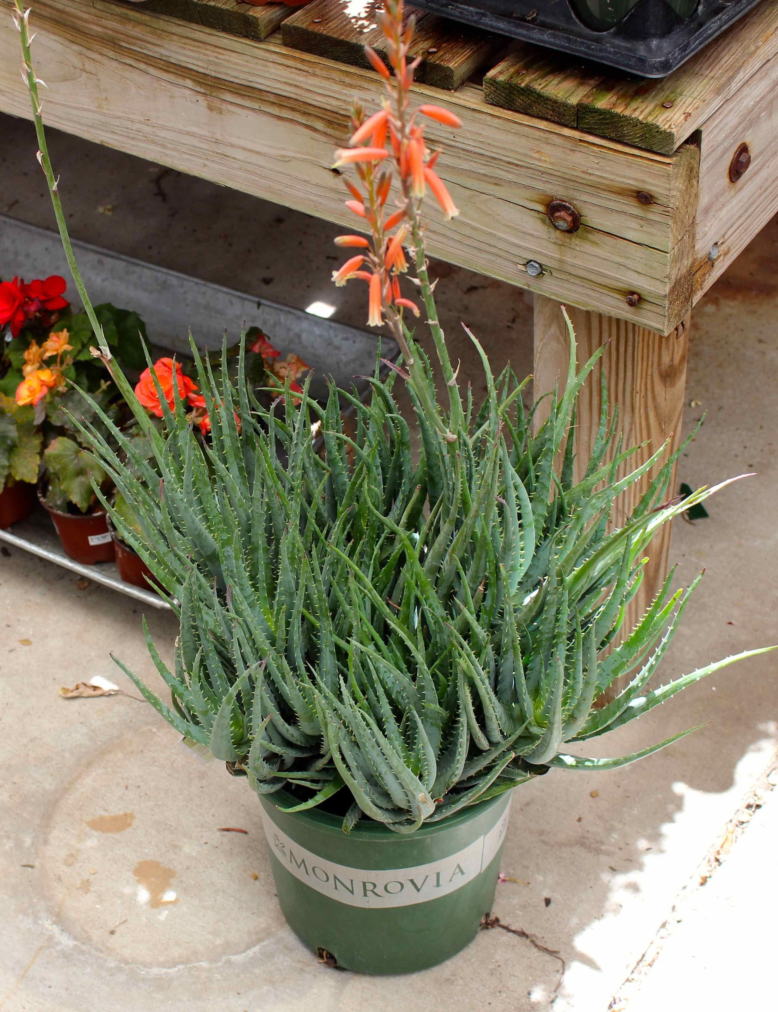 Aloe vera plantsgreat accent in your succulent